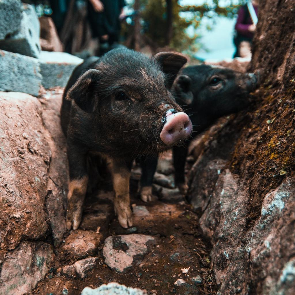 Der innere Schweinehund ist schuld?